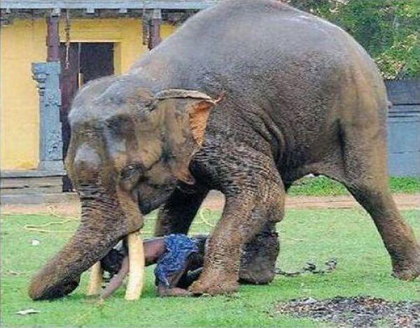 هجوم فيل على رجل